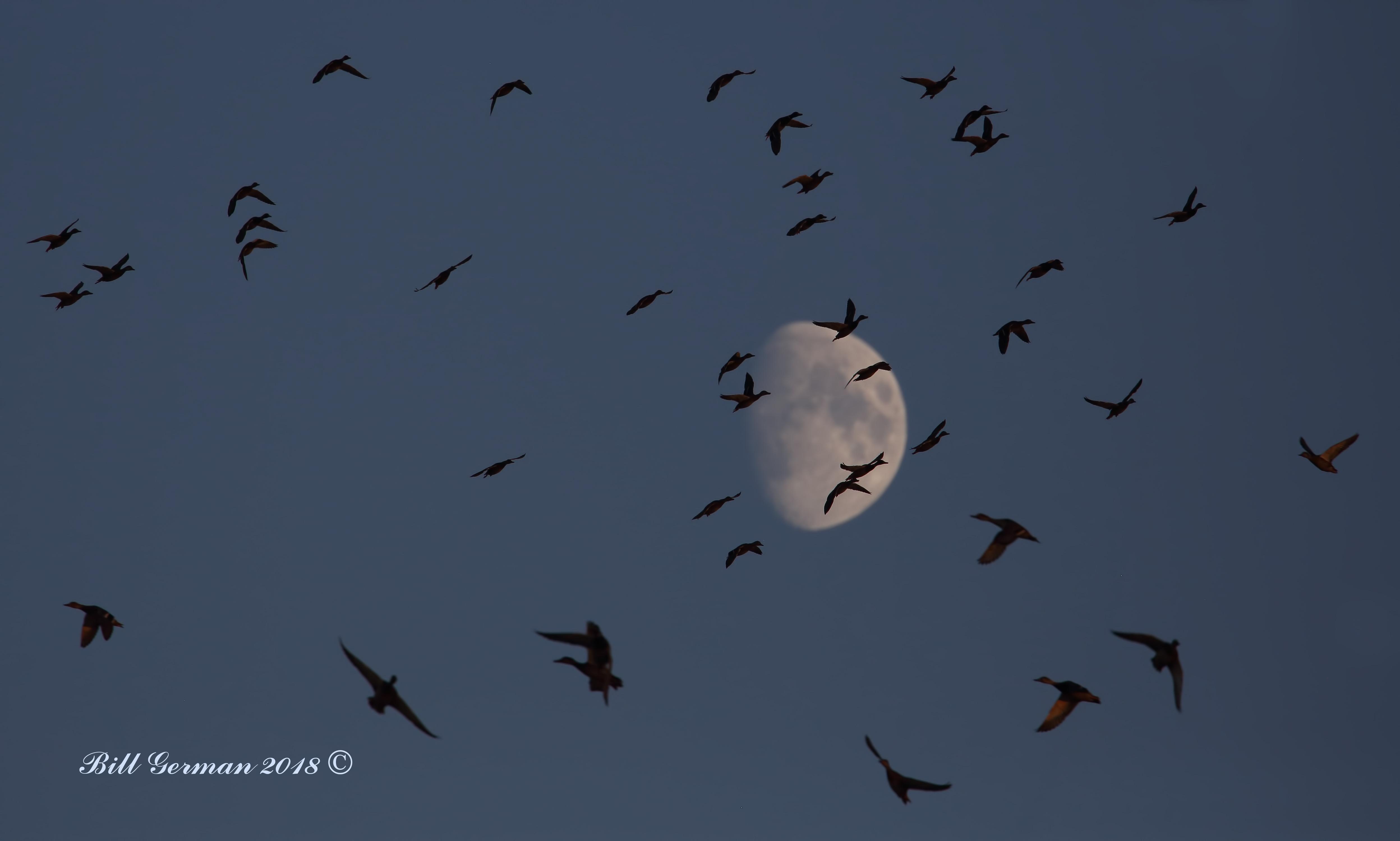 Moonstruck Mallards 0M2A0854a.jpg
