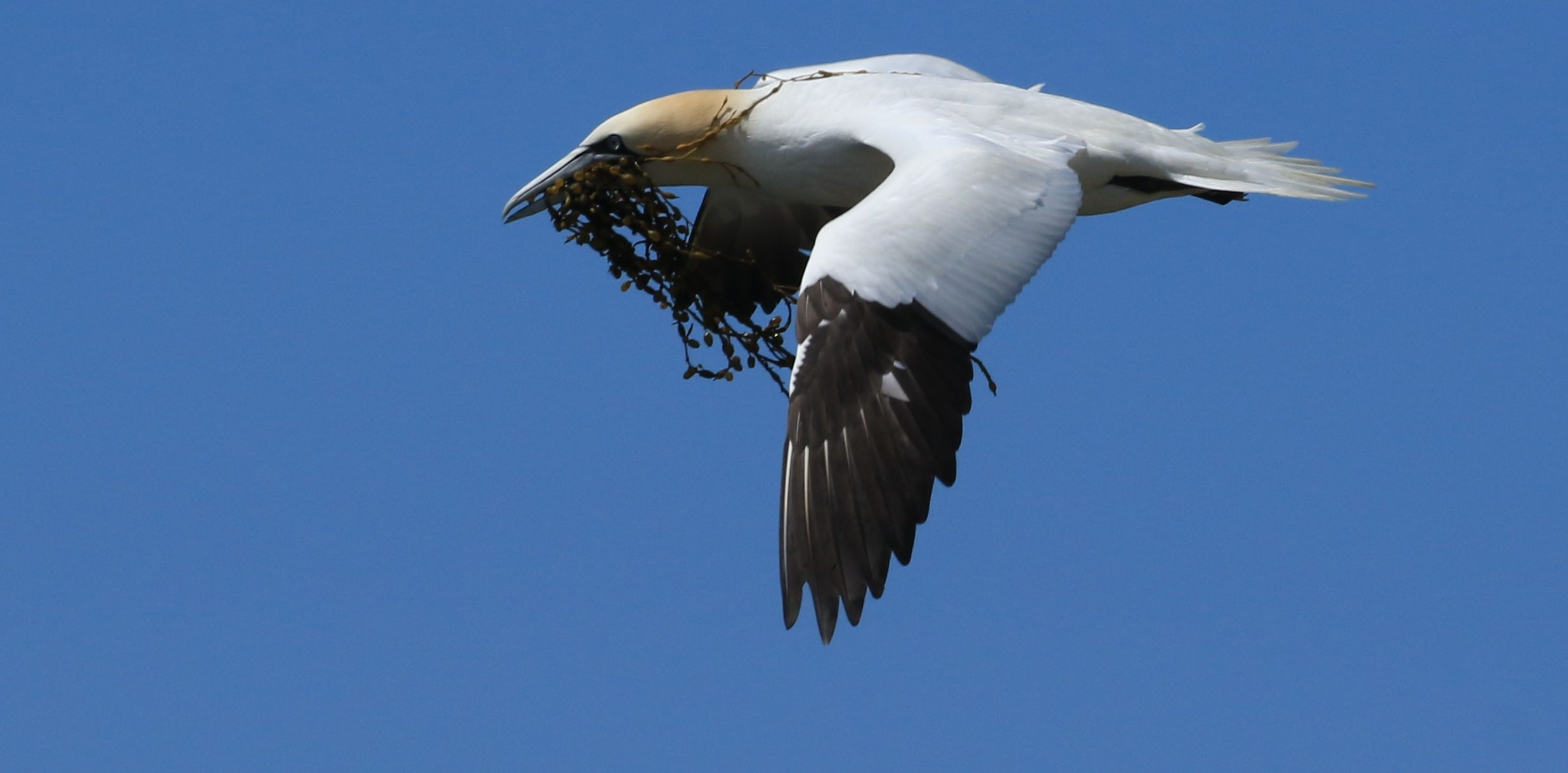 Northern Gannet_Cape St. Mary's_10.jpg