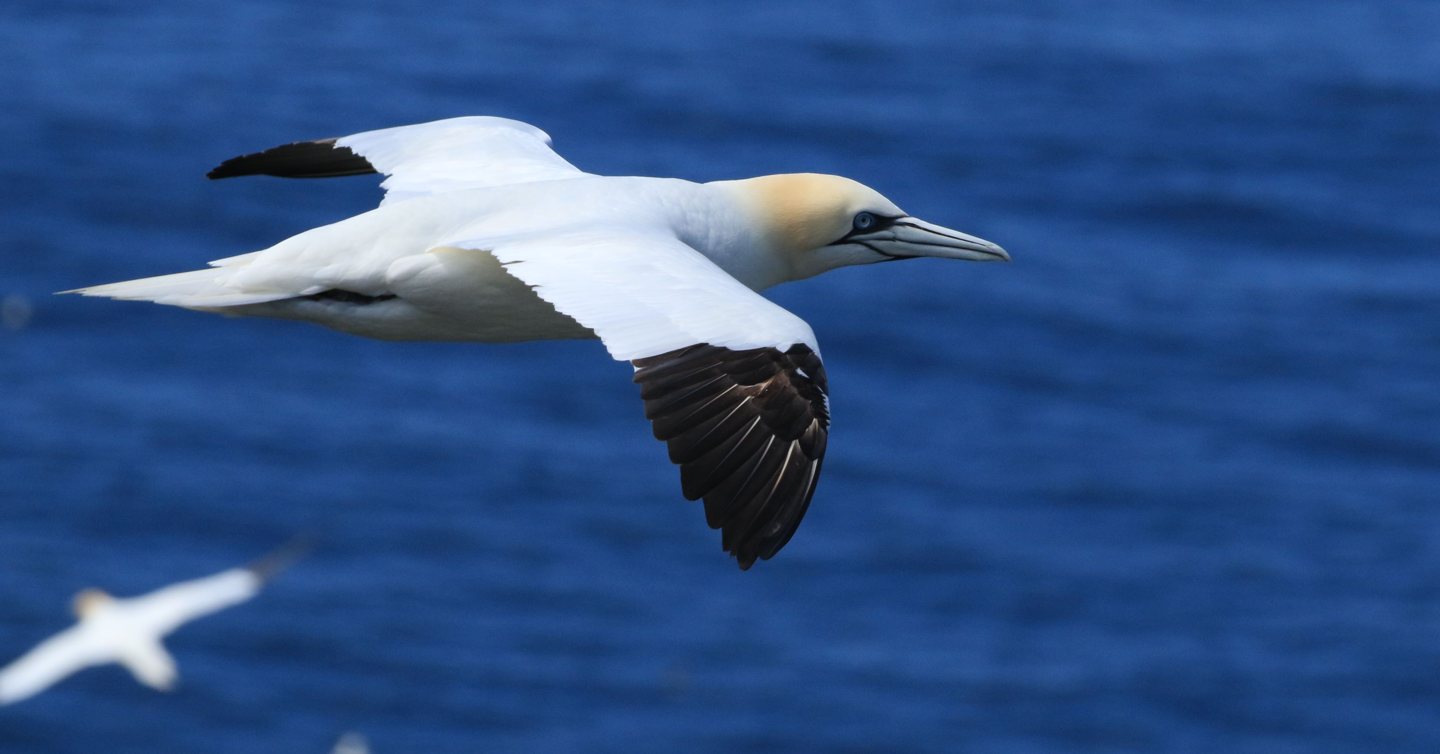 Northern Gannet_Cape St. Mary's_16.jpg