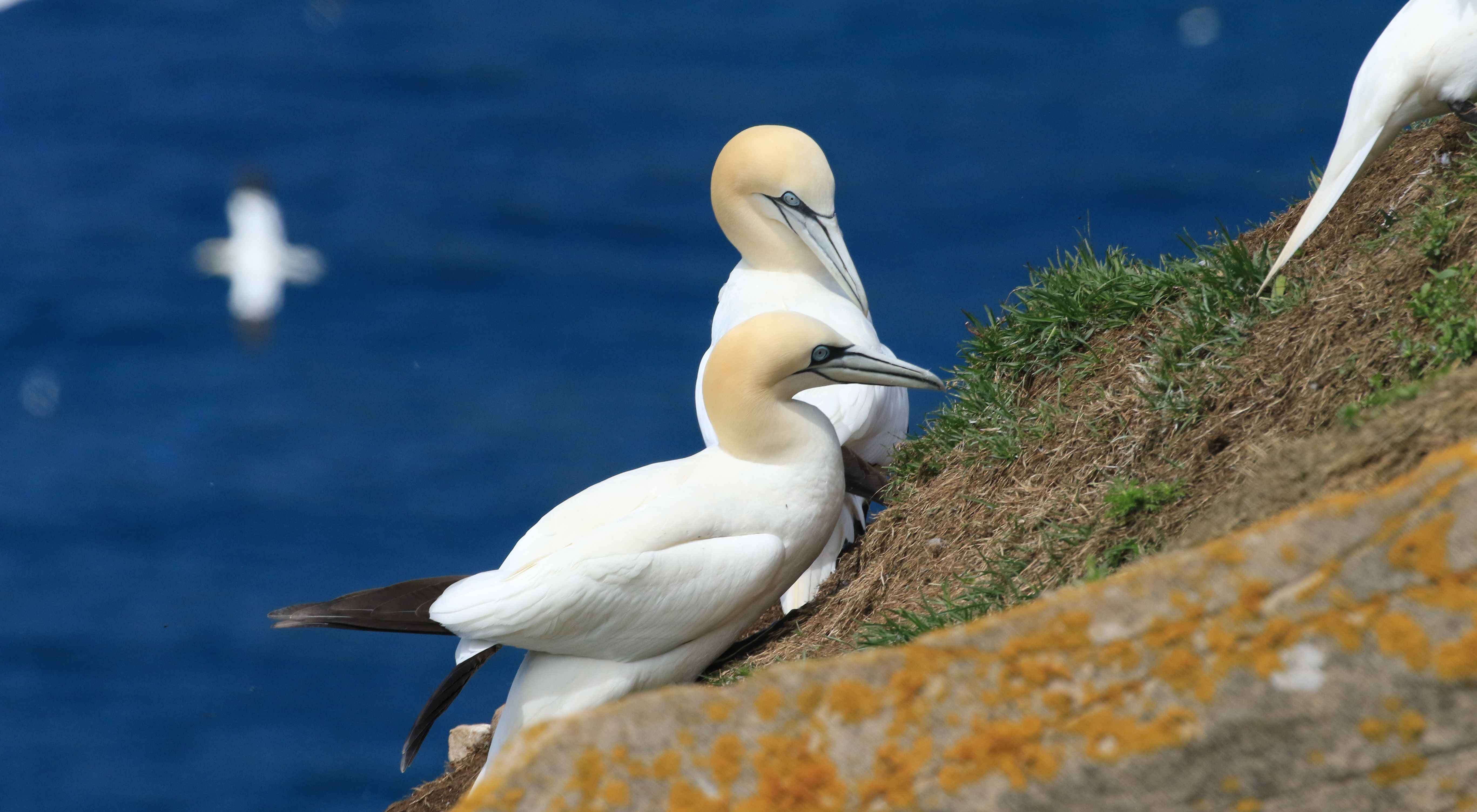 Northern Gannet_Cape St. Mary's_2.jpg