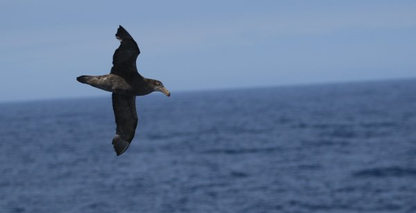 Northern Giant Petrel_Drake Passage (2)_rev.JPG