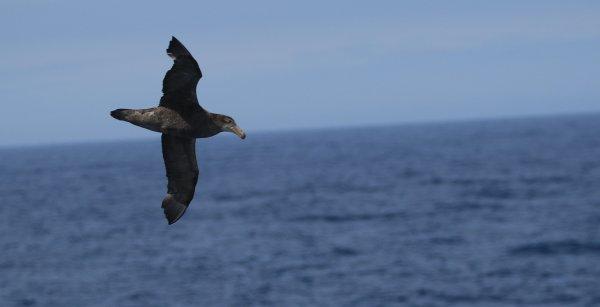 Northern Giant Petrel_Drake Passage (2)_rev.JPG