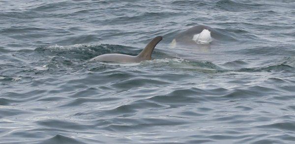 Orcas_Geriache Strait (10) rev.jpg