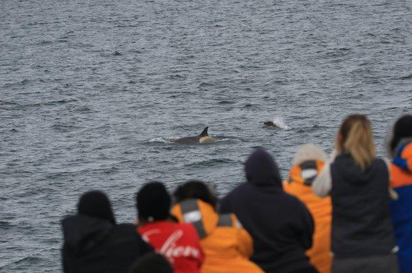 Orcas_Geriache Strait (14) rev.jpg