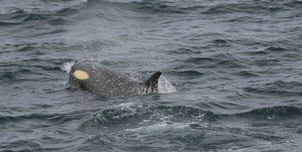 Orcas_Geriache Strait (17) rev.jpg
