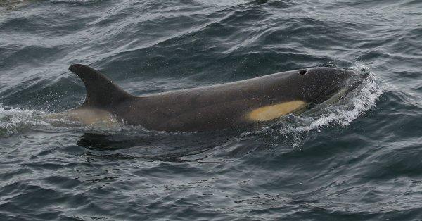 Orcas_Geriache Strait (29) rev.jpg