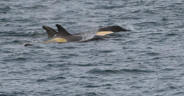 Orcas_Geriache Strait (35) rev.jpg