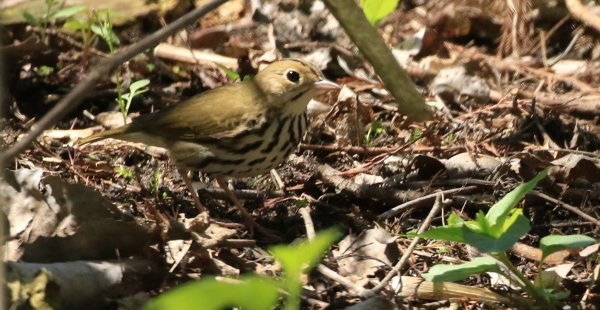 Ovenbird_Magee Marsh Boardwalk.jpg