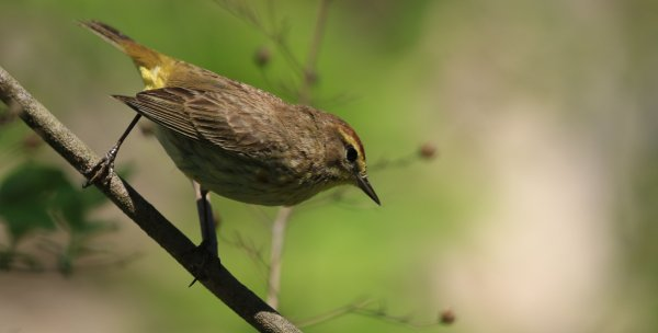 Palm Warbler_Magee Marsh Boardwalk_5.jpg