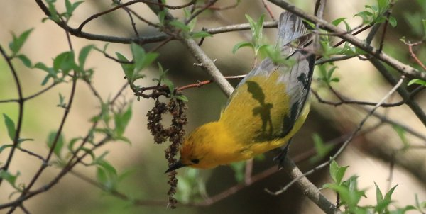 Prothonotary Warbler_Magee Marsh Boardwalk_2.jpg