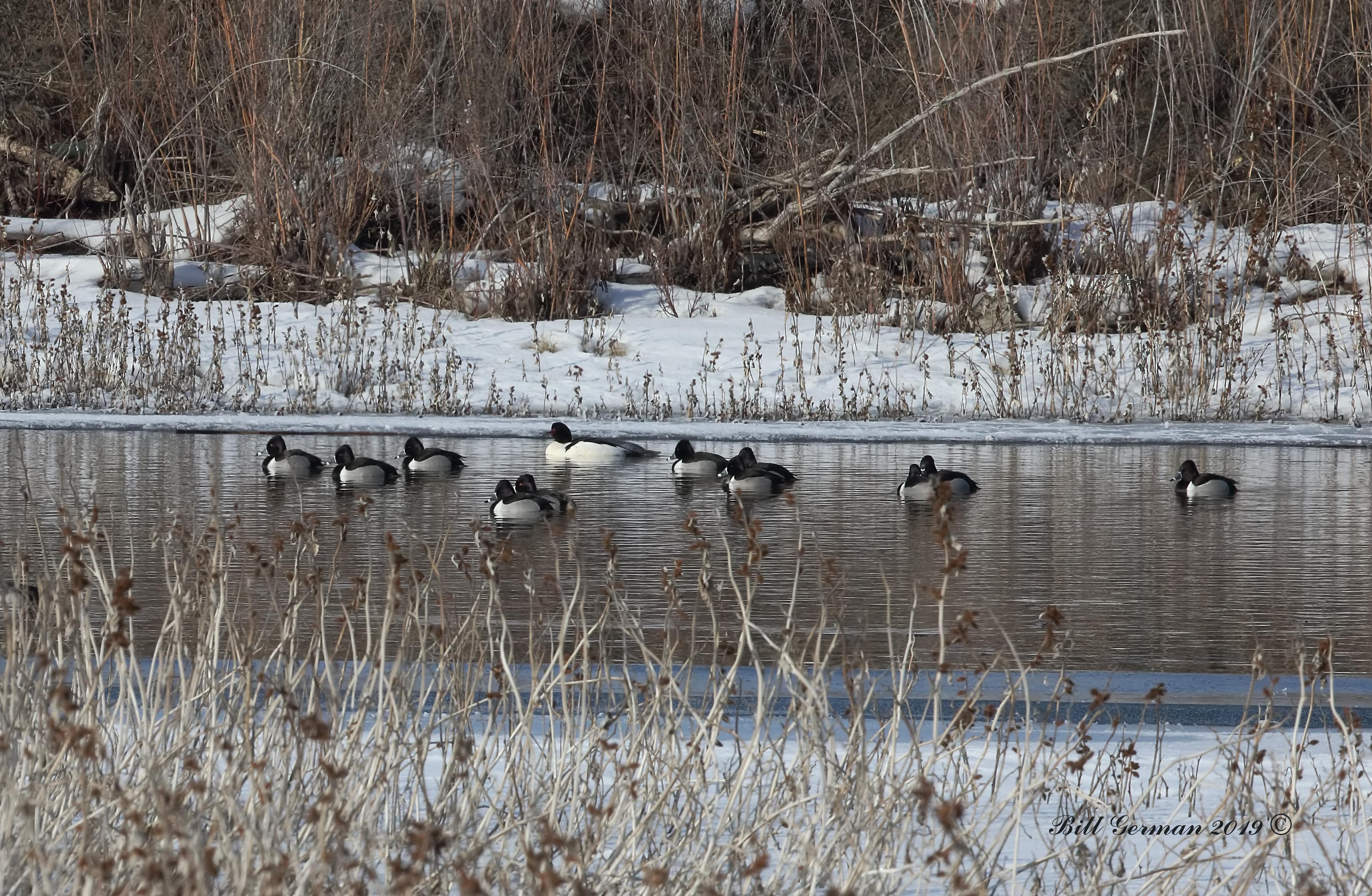 Ring Neck Ducks 0M2A9772a.jpg