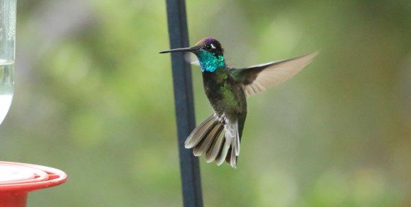Rivolis Hummingbird_Santa Rita Lodge_Madera Canyon.jpg