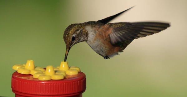 Rufous Hummingbird_Santa Rita Lodge_Mader Canyon (10).jpg