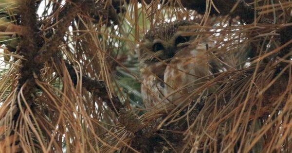 Saw-Whet Owl_Cleveland Lakefront Nature Preserve (12) rev.jpg