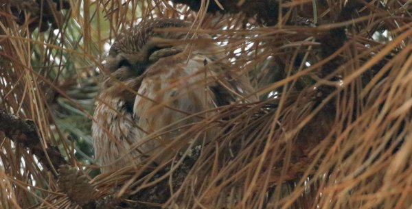 Saw-Whet Owl_Cleveland Lakefront Nature Preserve (17) rev.jpg