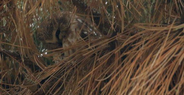 Saw-Whet Owl_Cleveland Lakefront Nature Preserve (5) rev.jpg