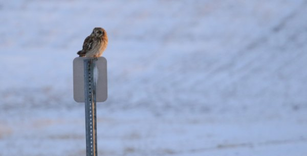 Short-Eared Owl_Pickaway County (16) rev.jpg