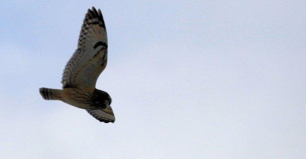 Short-Eared Owl_Pickaway County (3) rev.jpg