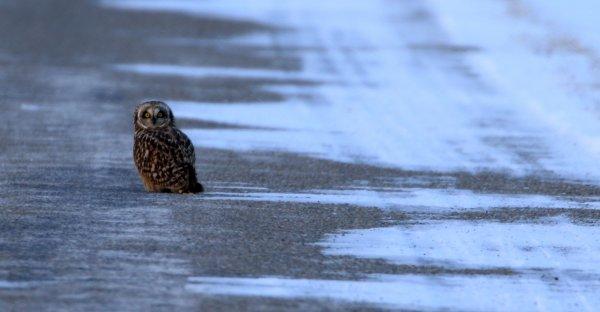Short-Eared Owl_Pickaway County (34) rev2.jpg