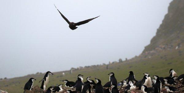 Skua flying over Chinstrap Penguins_Barrientos Island (2) rev.jpg