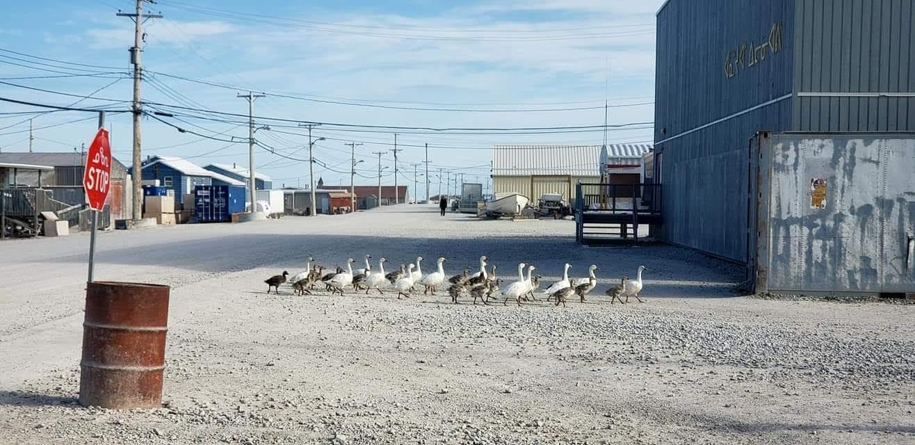 snow goose pictures 2.JPG