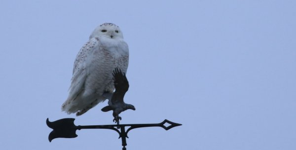 Snowy Owl_Mt Hope  (11) rev.jpg