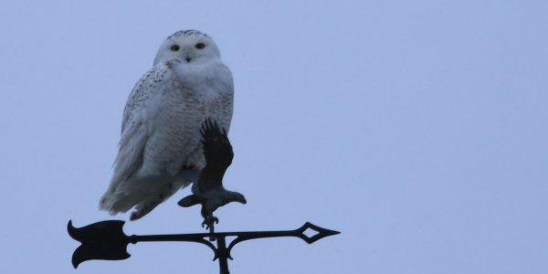 Snowy Owl_Mt Hope (16) rev.jpg