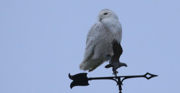 Snowy Owl_Mt Hope (5) rev.jpg
