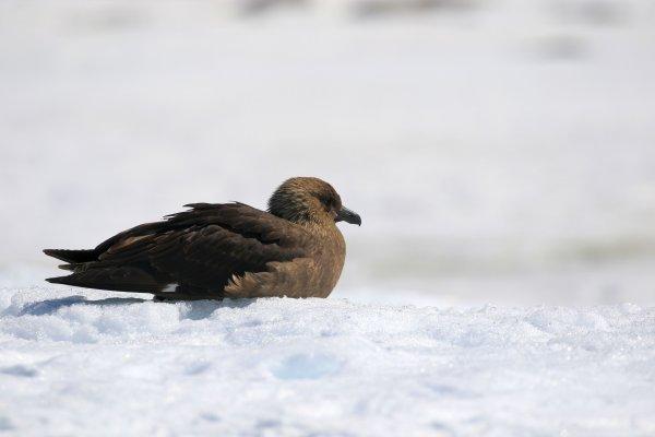 South Polar Skua_Port Charcot (2).JPG