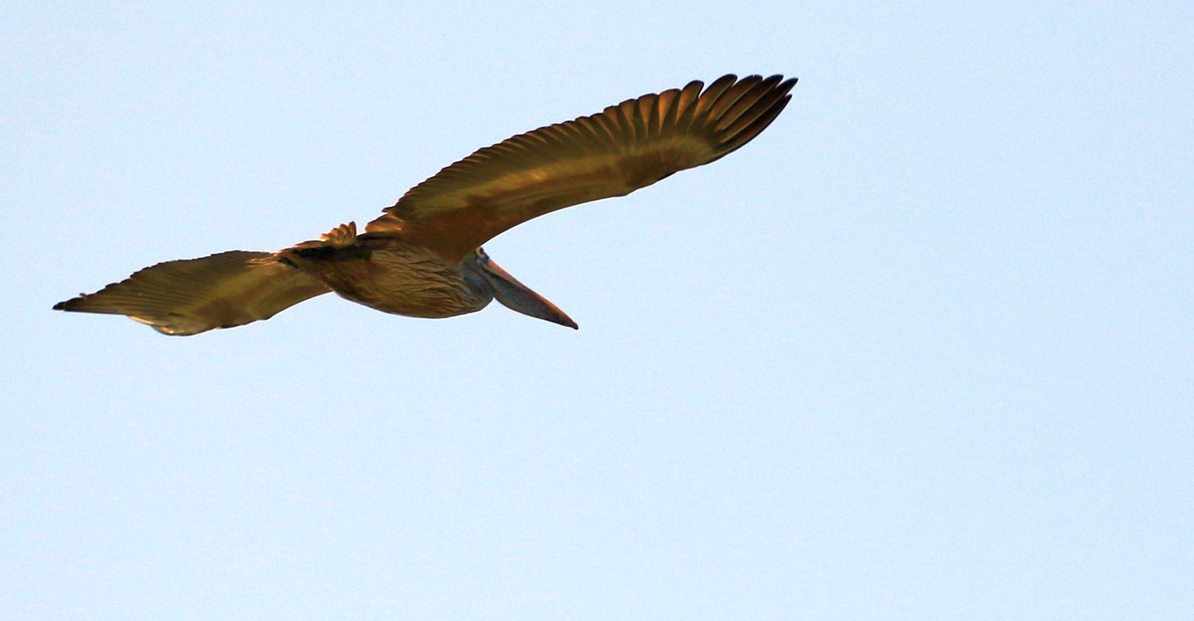 Spot-billed Pelican_Kaziranga NP_2.jpg