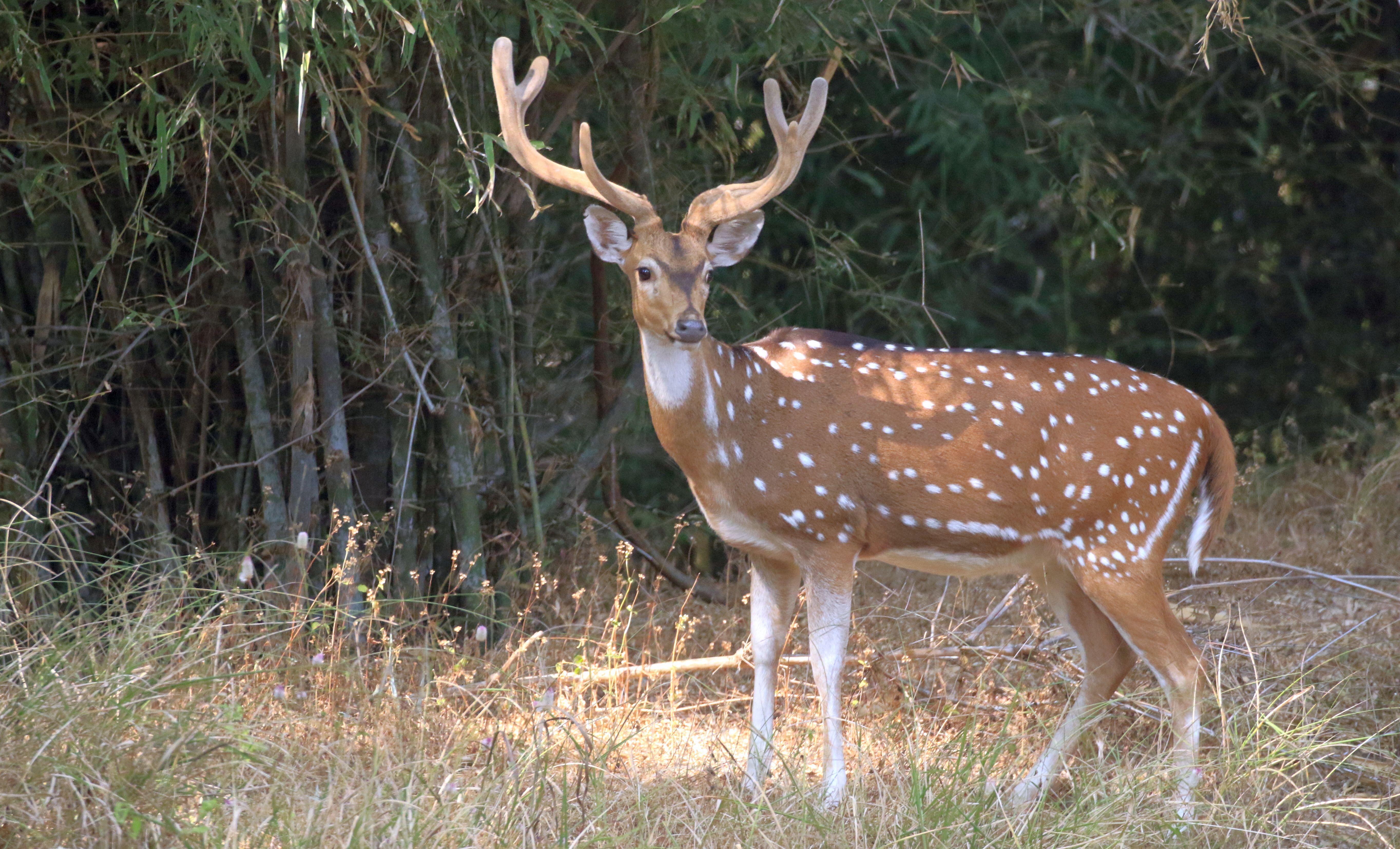 Spotted Deer_Bandhavgarh_4.jpg