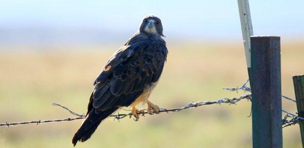 Swainson's Hawk_HWY n of Douglas AZ.jpg