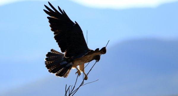 Swainson's Hawk_HWY n of Douglas AZ_7.jpg