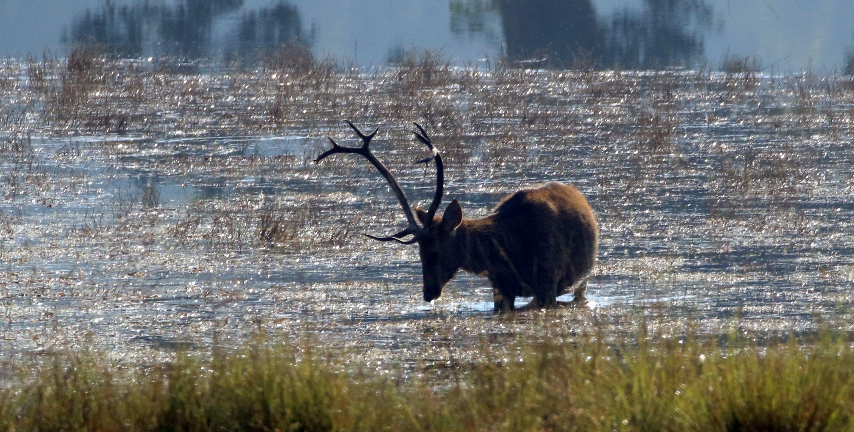 Swamp Deer_Kanha NP_3.jpg