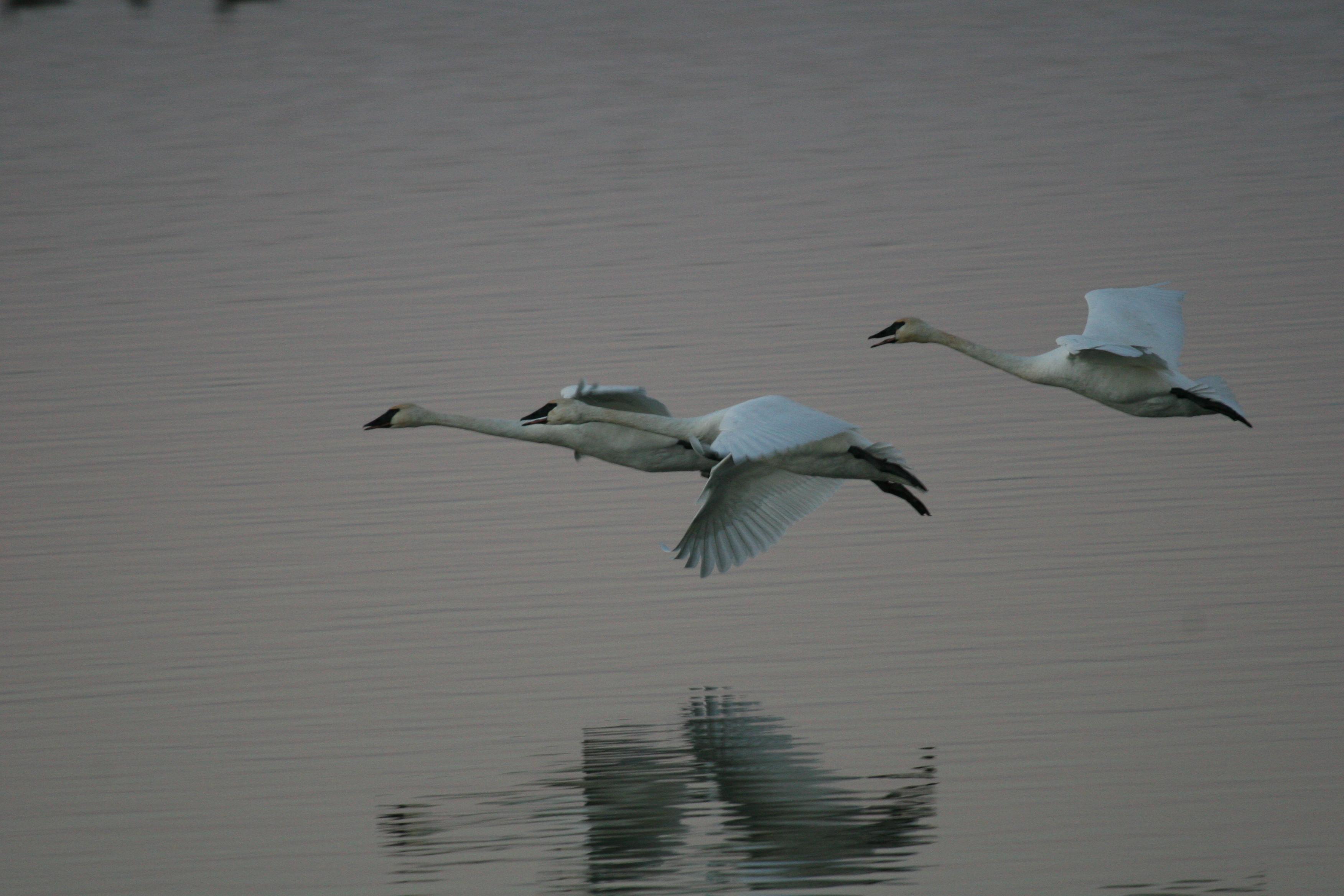 swans-IMG_9726.JPG