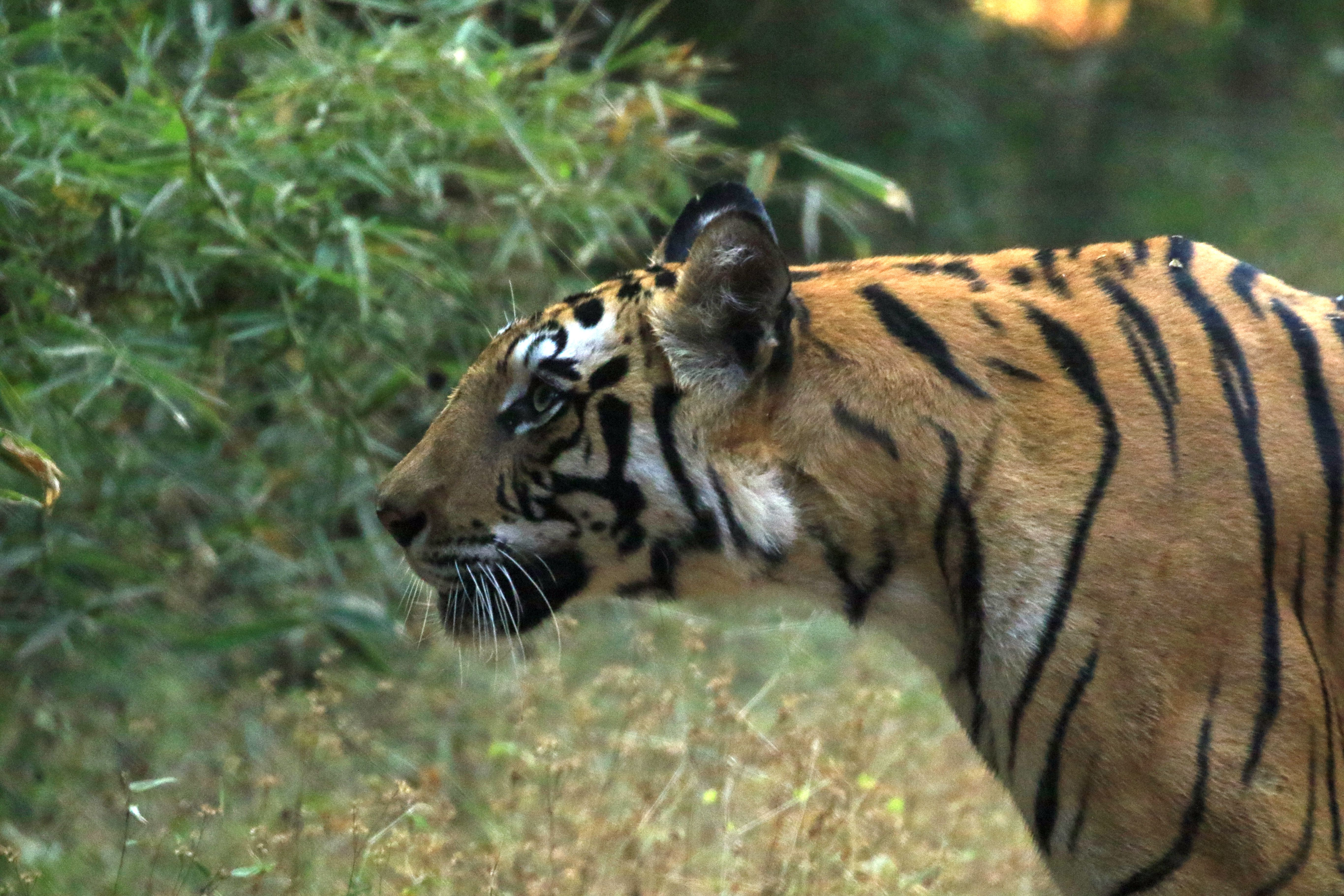 Tiger_Bandhavgarh_43.jpg
