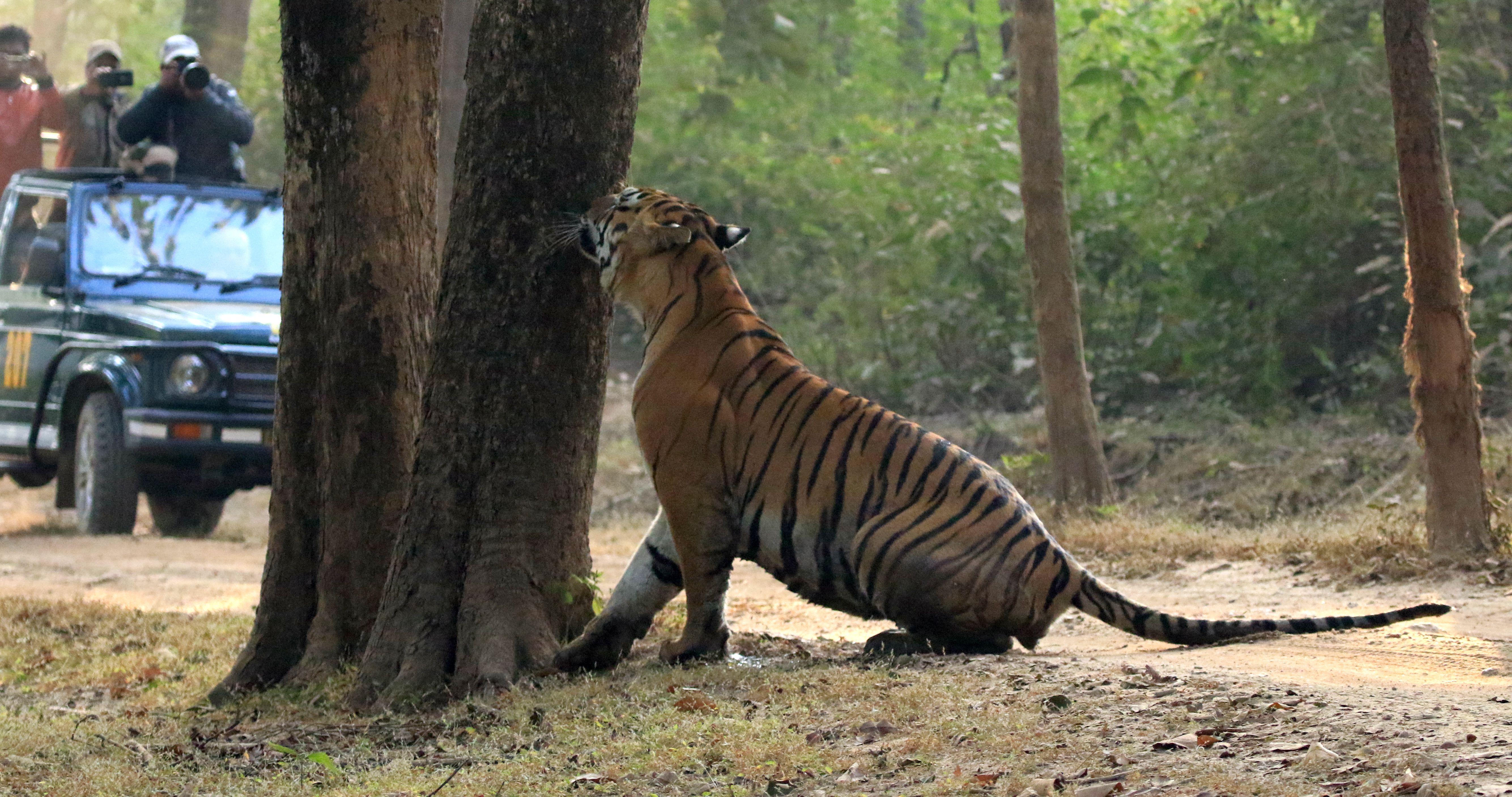 Tiger_Kanha National Park_7.jpg