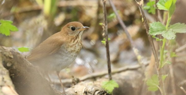 Veery_Magee Marsh Boardwalk.jpg
