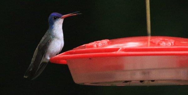 Violet-crowned Hummingbird_Paton Center_Patagonia_6.jpg