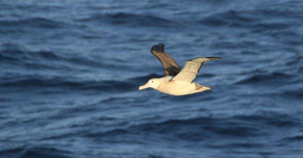 Wandering Albatross_Drake Passage (6) rev.jpg