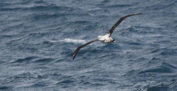 Wandering Albatrosss_Drake Passage rev.jpg
