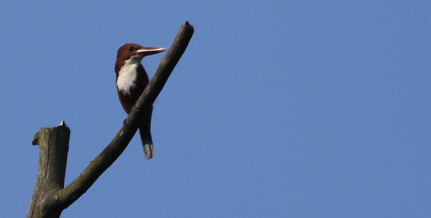 White-throated Kingfisher_Haroocharai Tea Estate_Pulibor_3.jpg