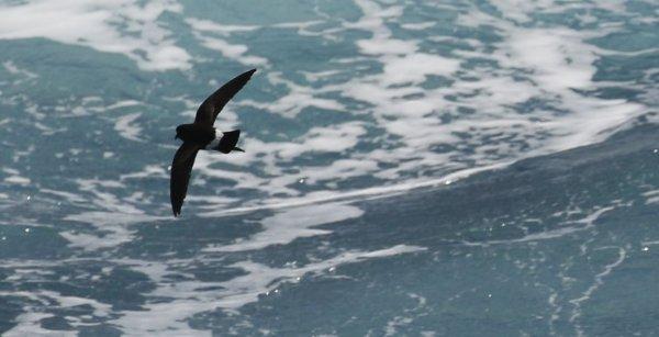 Wilsons Storm Petrel_Drake Passage (2) rev.jpg