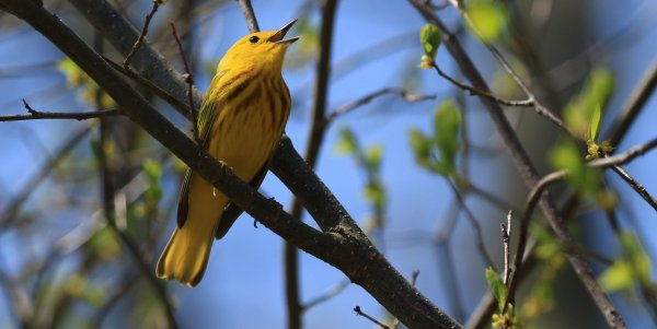 Yellow Warbler_Point Pelee National Park_13.jpg