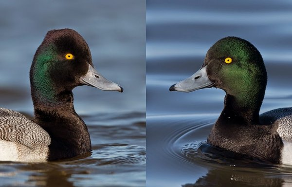 Z - Scaup Head Shape Male.jpg
